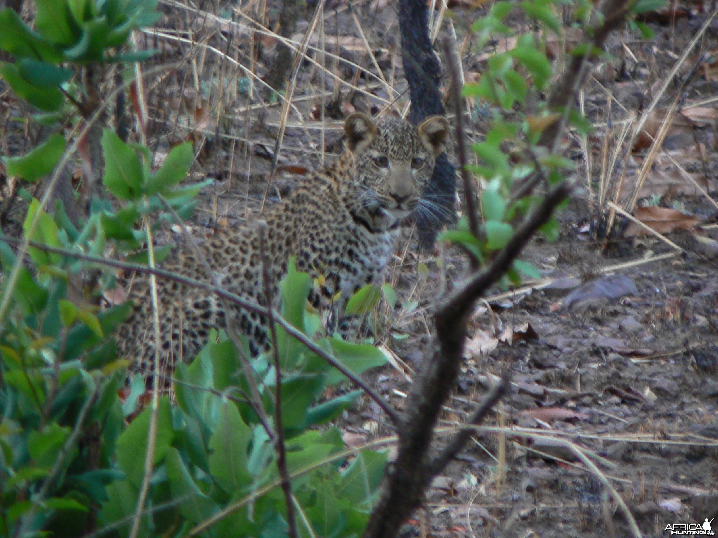 Leopard  in  CAR