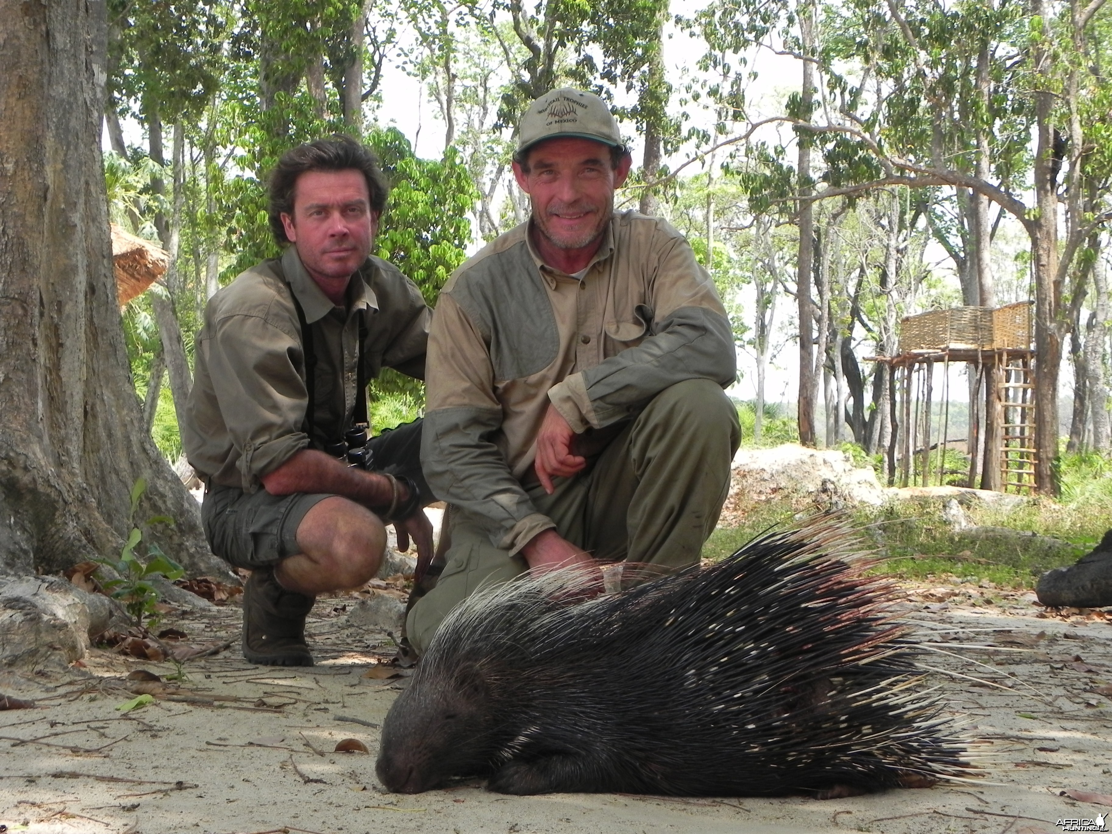 African Porcupine hunted in Central Africa with Club Faune