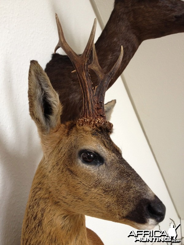 Roebuck from Scotland