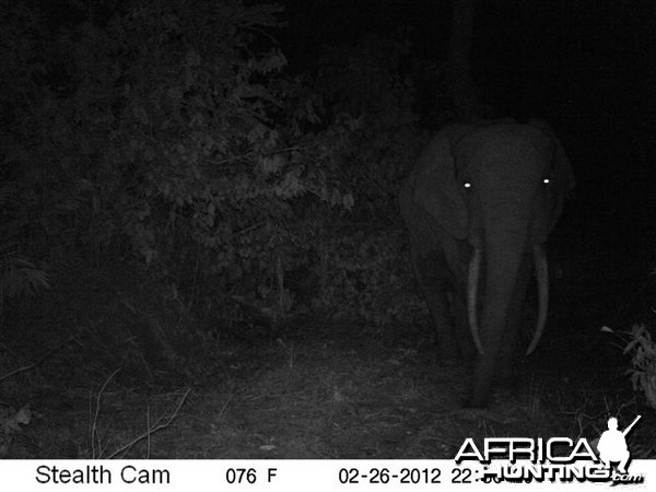 Elephant in Congo
