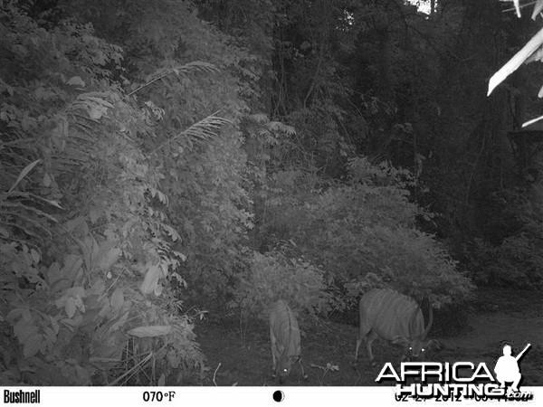 Bongo in Congo