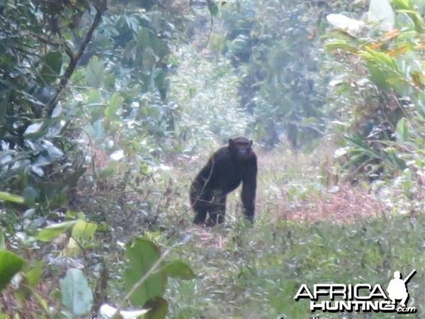 Chimpanzee in Congo