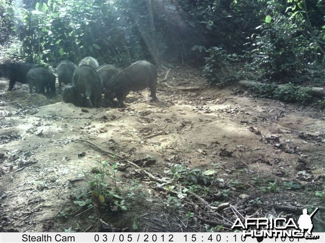 Giant Forest Hog in Congo