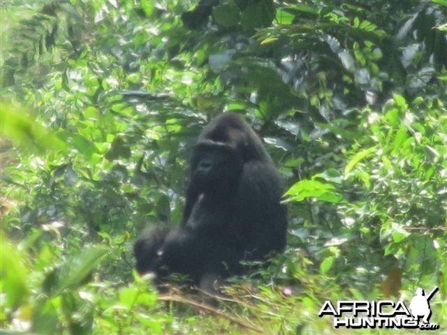 Gorilla in Congo