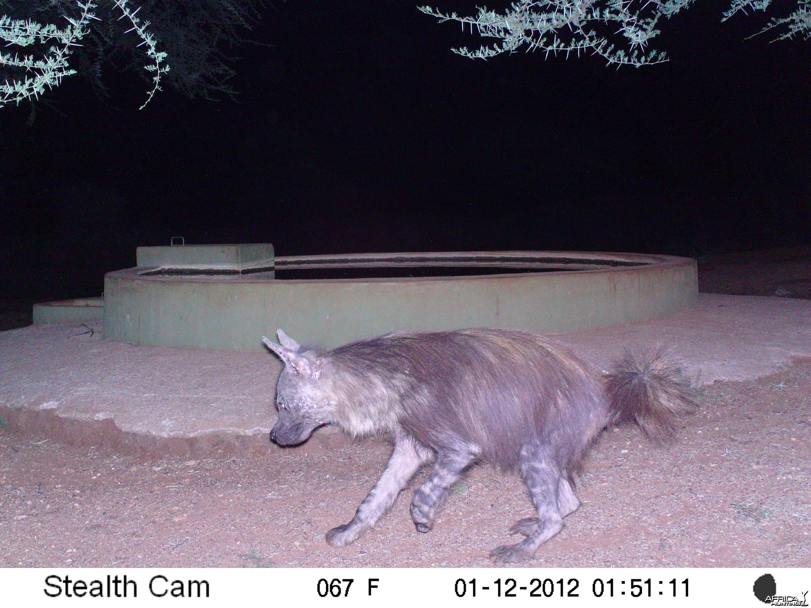 Brown Hyena Namibia