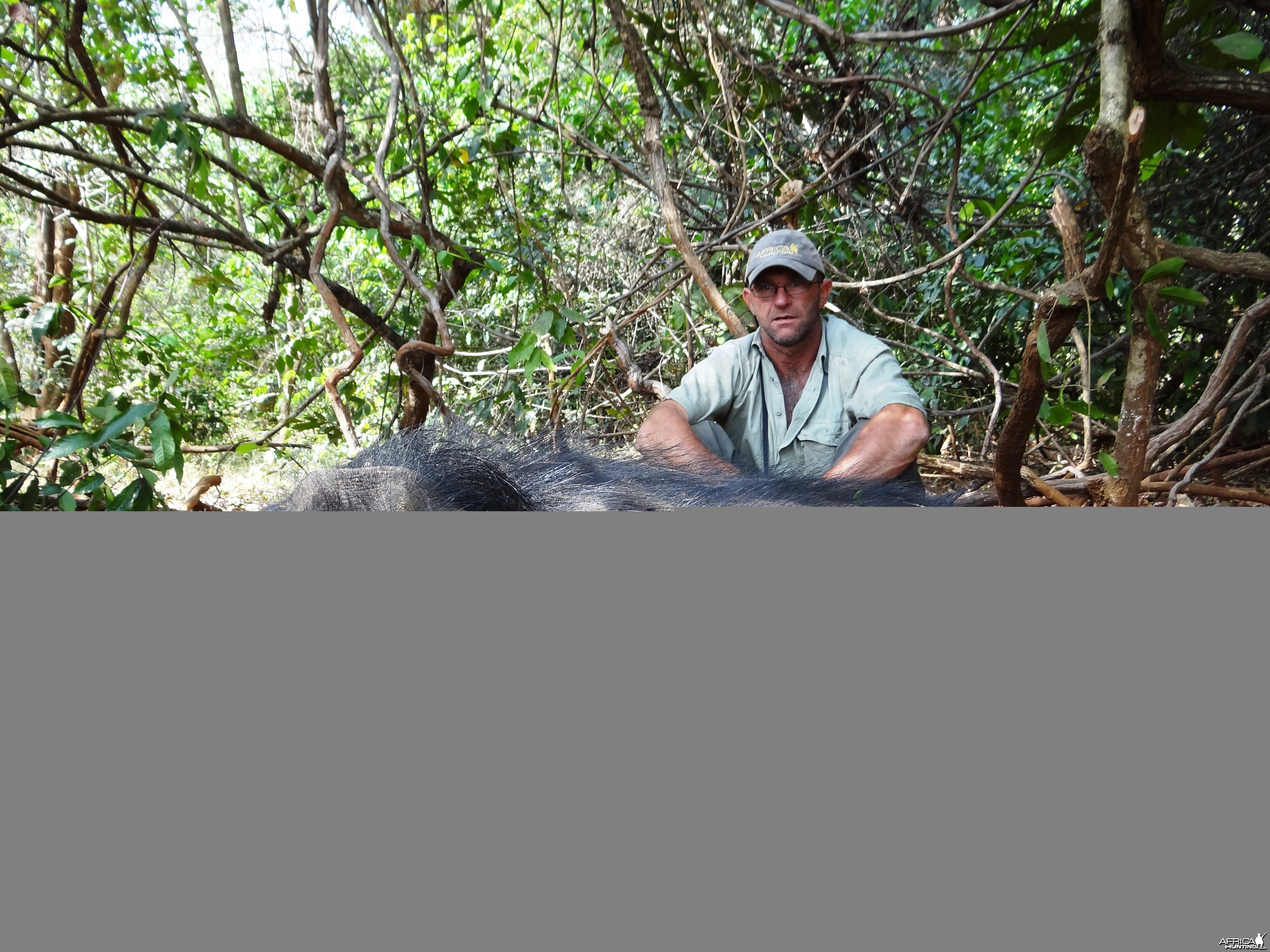 Old and blind Giant forest hog