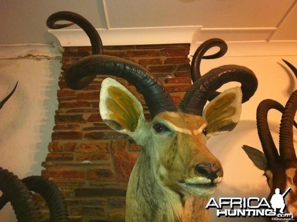 74 and 1/2 inch Kudu