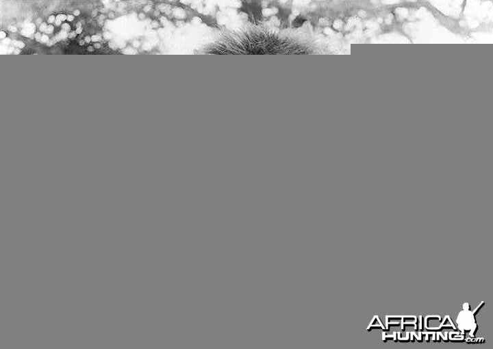 Dead lion being held by porters 1931