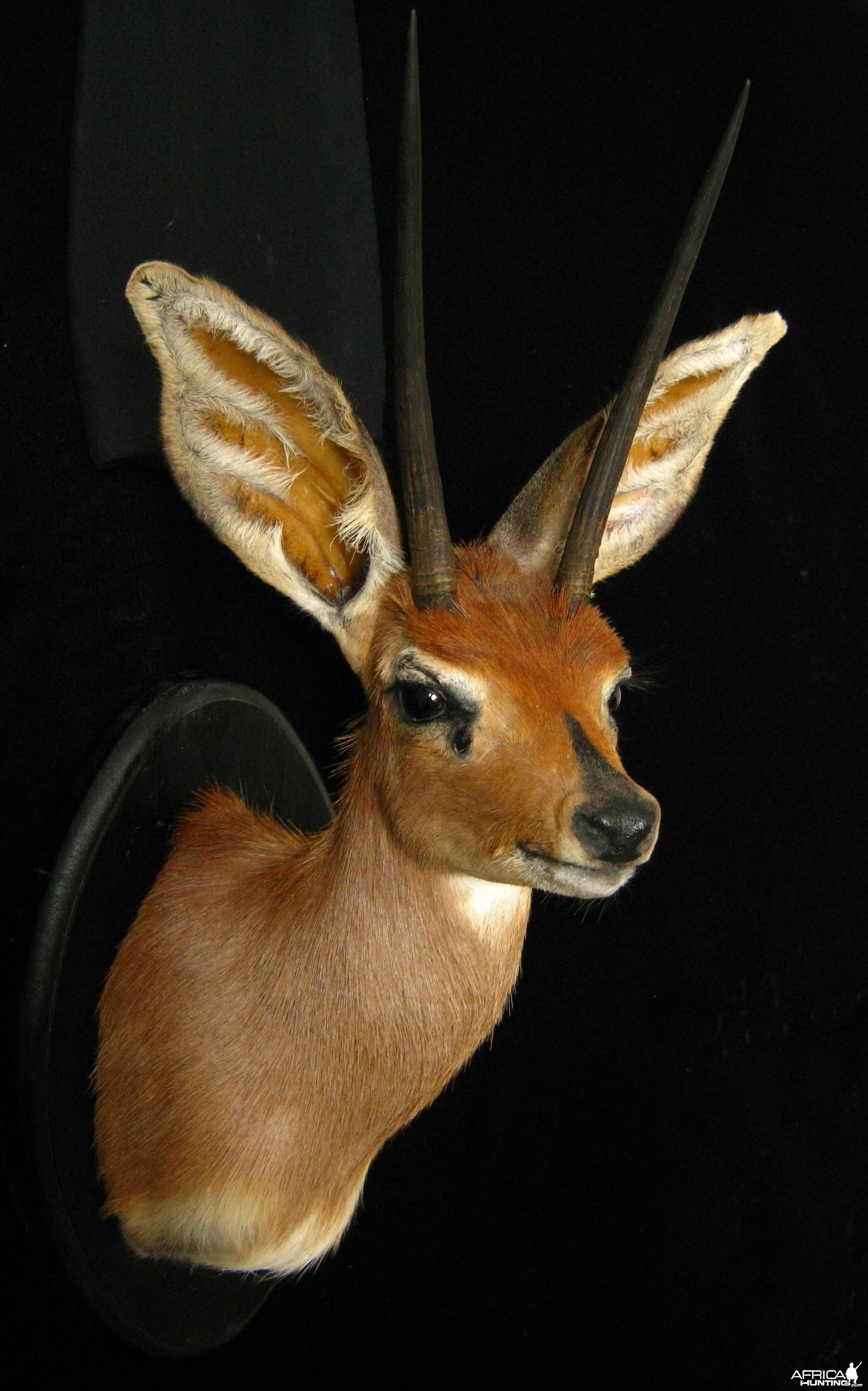 Number 2 Rowland Ward Steenbok