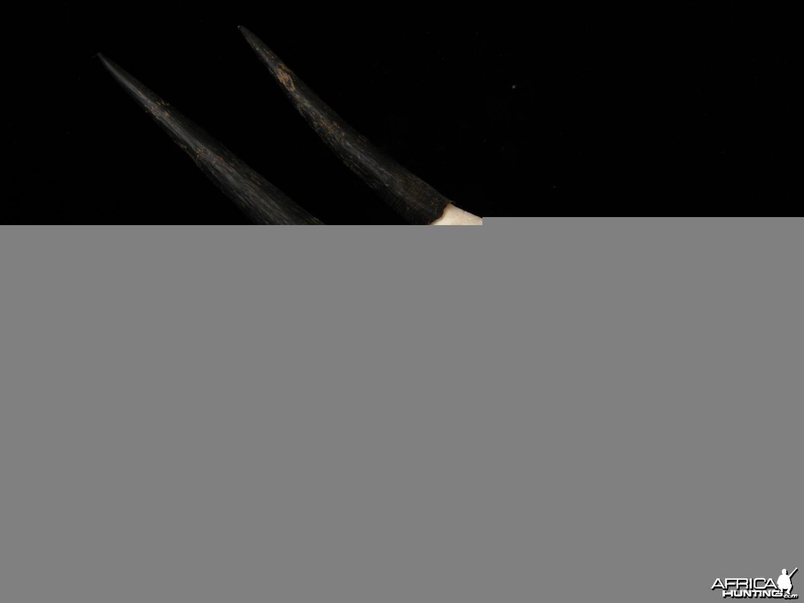 Cape Grysbok skull