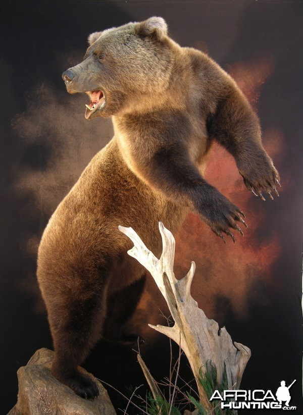Bear Taxidermy