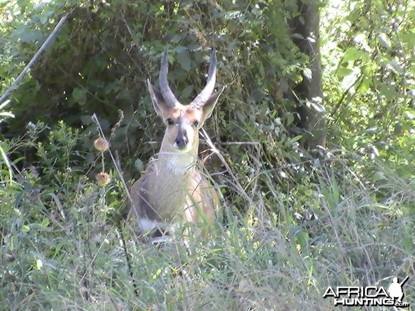 Bushbuck