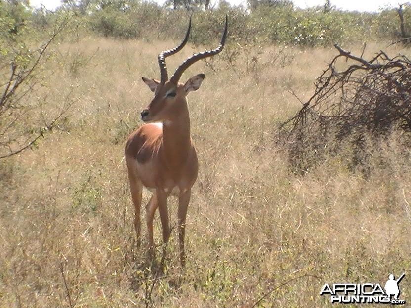 Shooter. Impala Ram