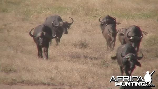 Cape Buffalo Bull