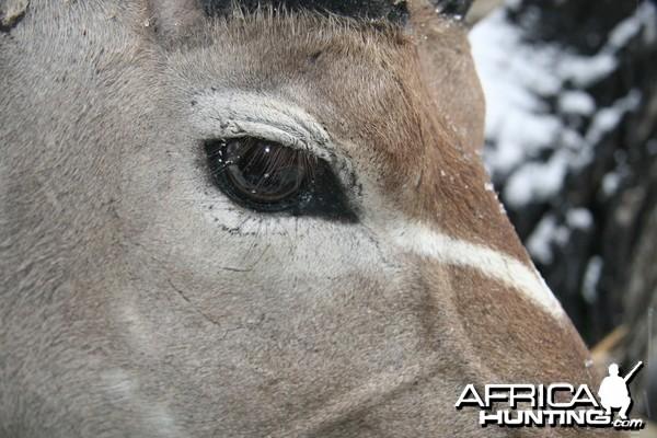 Kudu Eye Detail