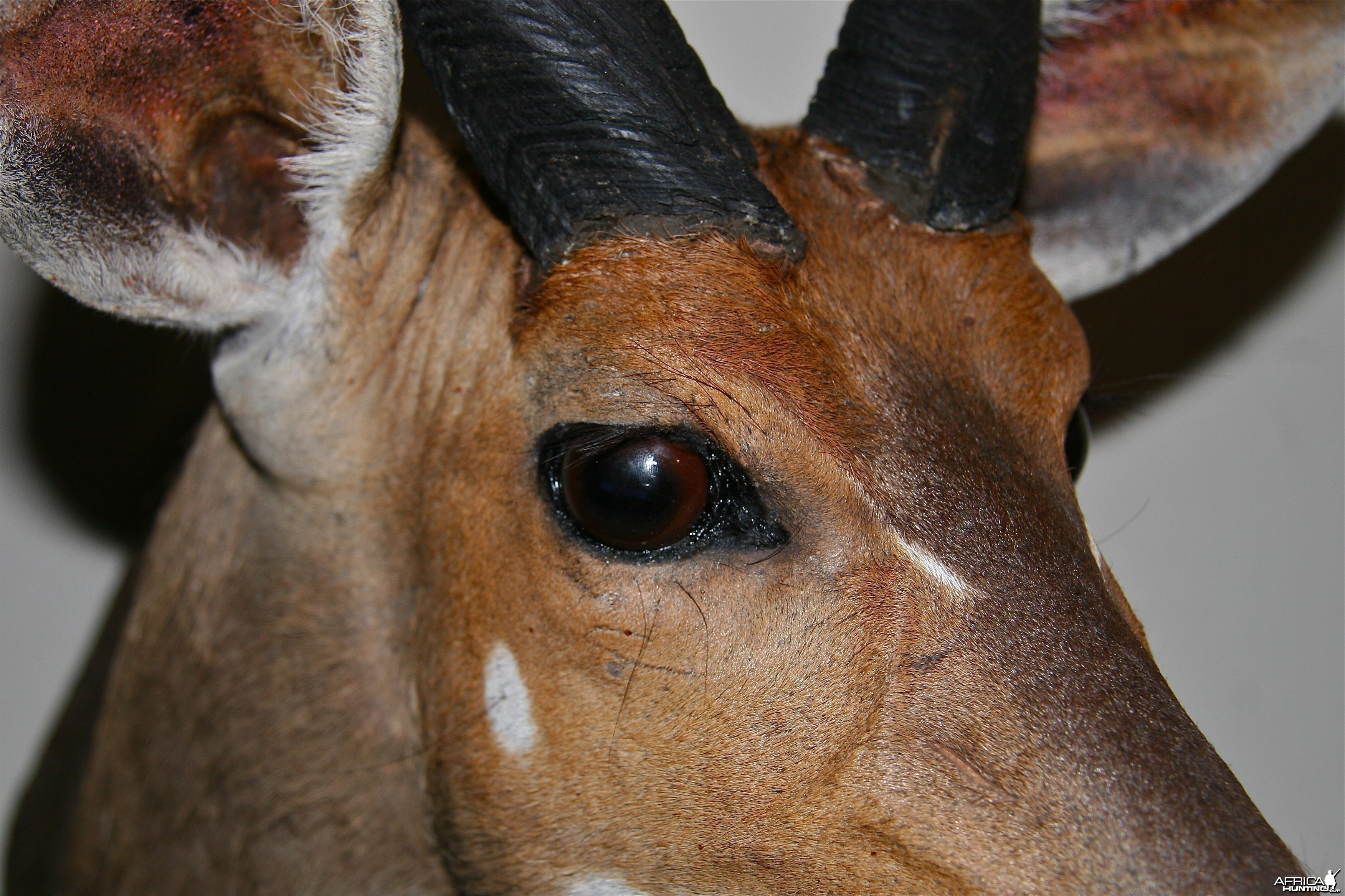 Bushbuck eye ear base