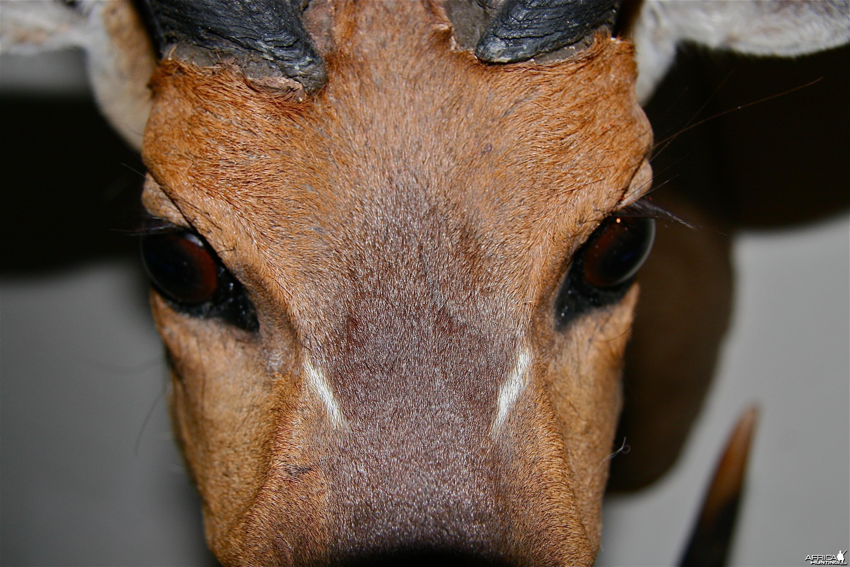 Bushbuck face