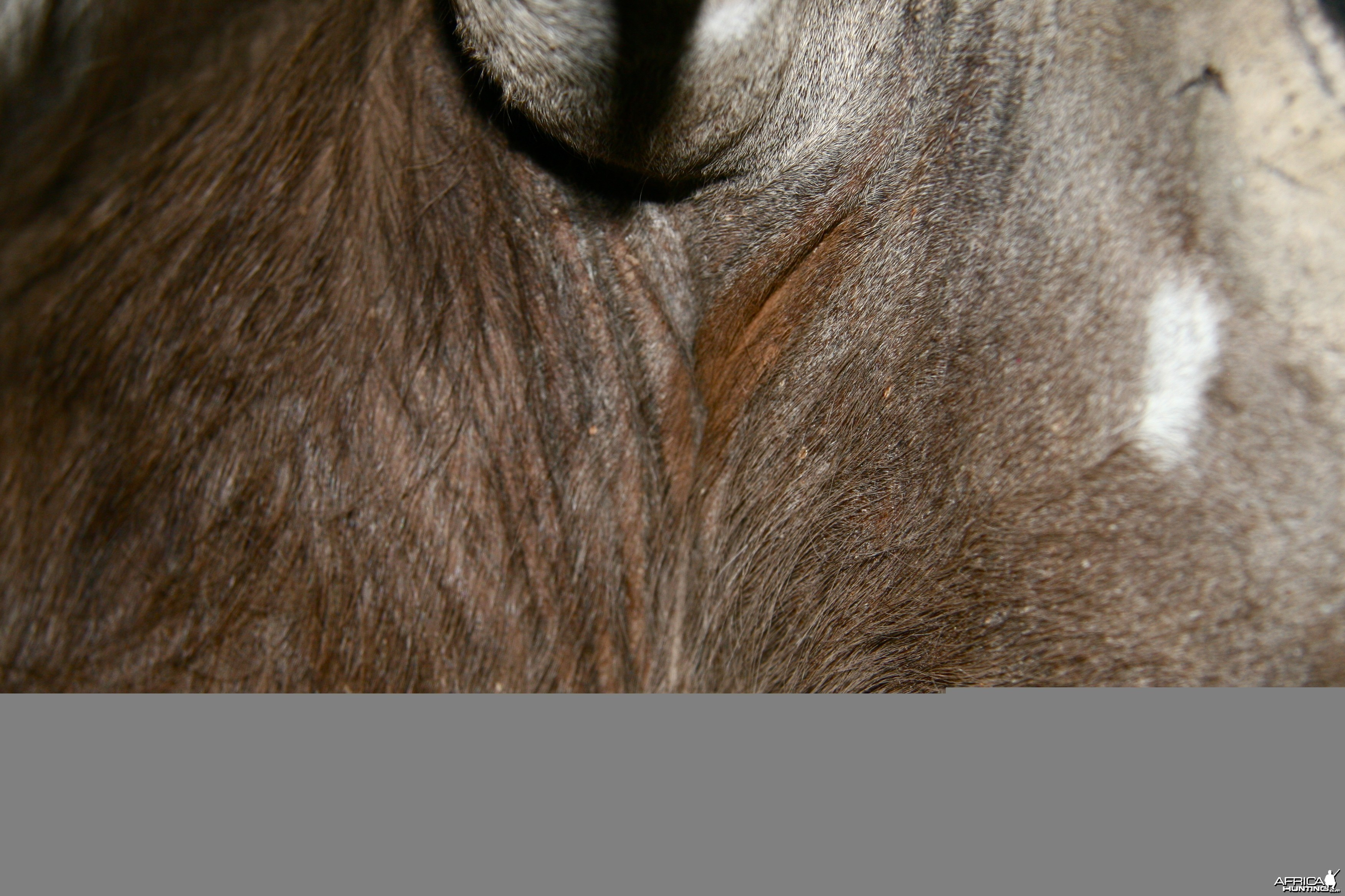 Nyala ear eye base