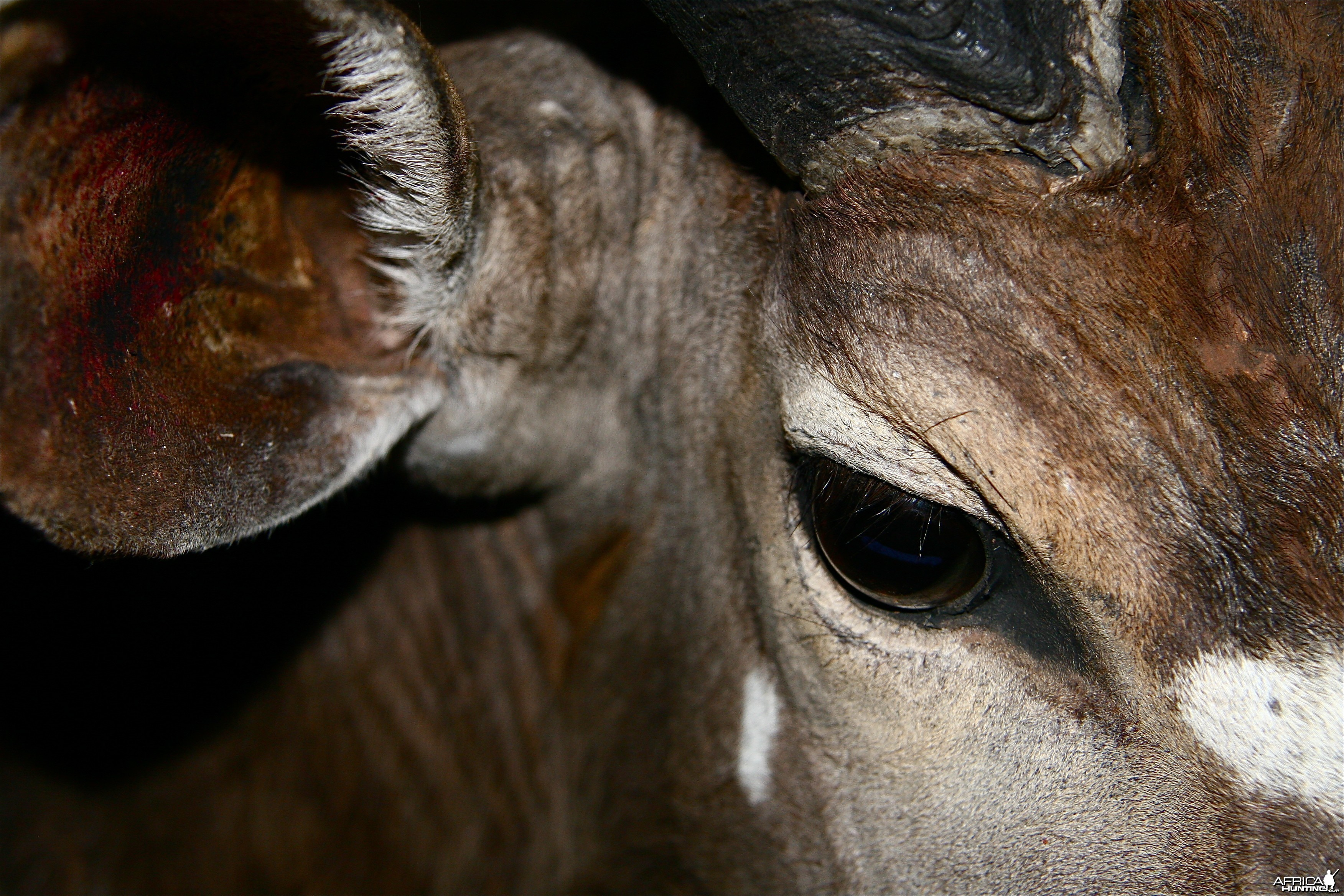 Nyala eye close up