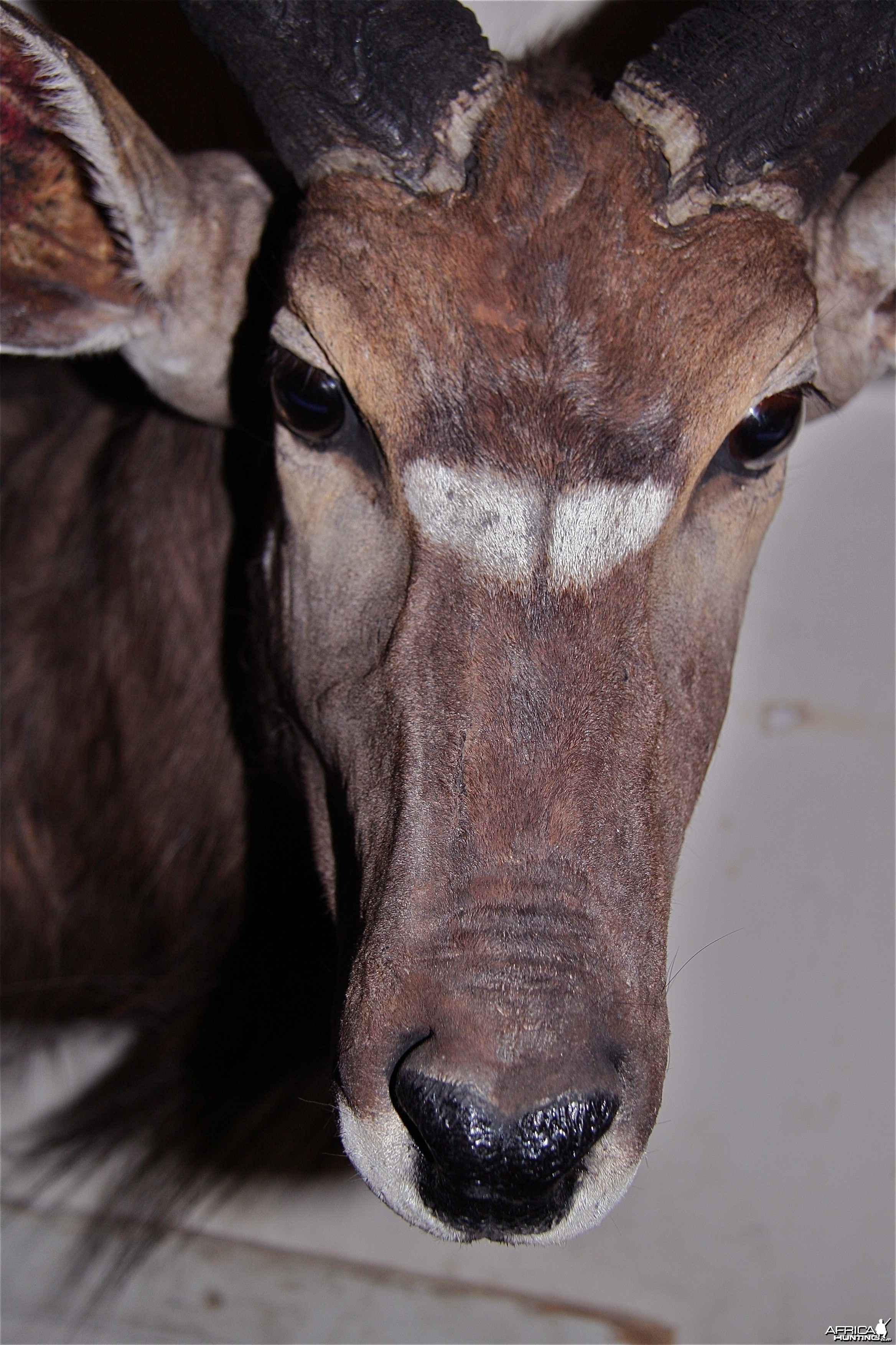 Nyala Face