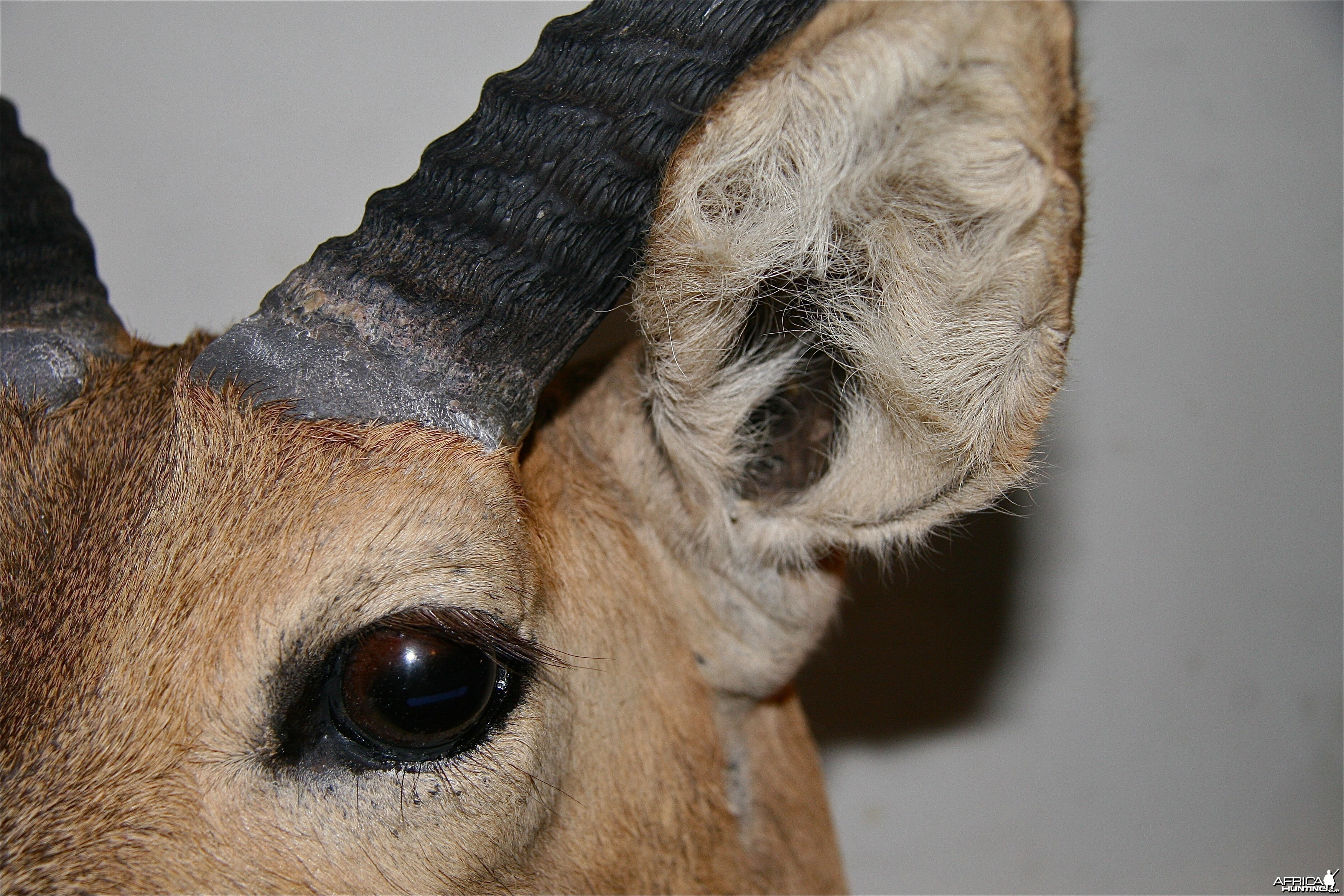 Reedbuck ear eye base