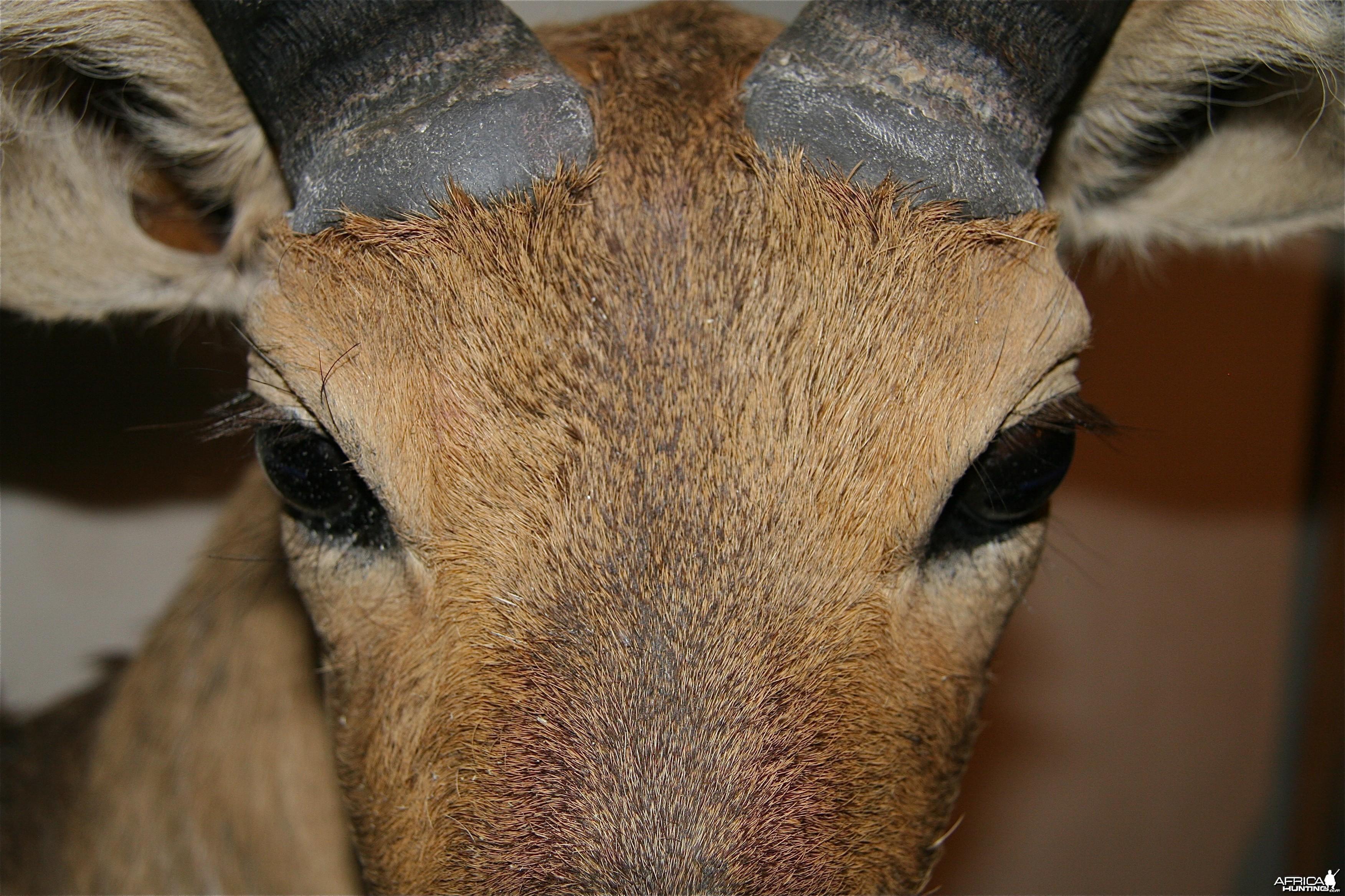 Reedbuck Face