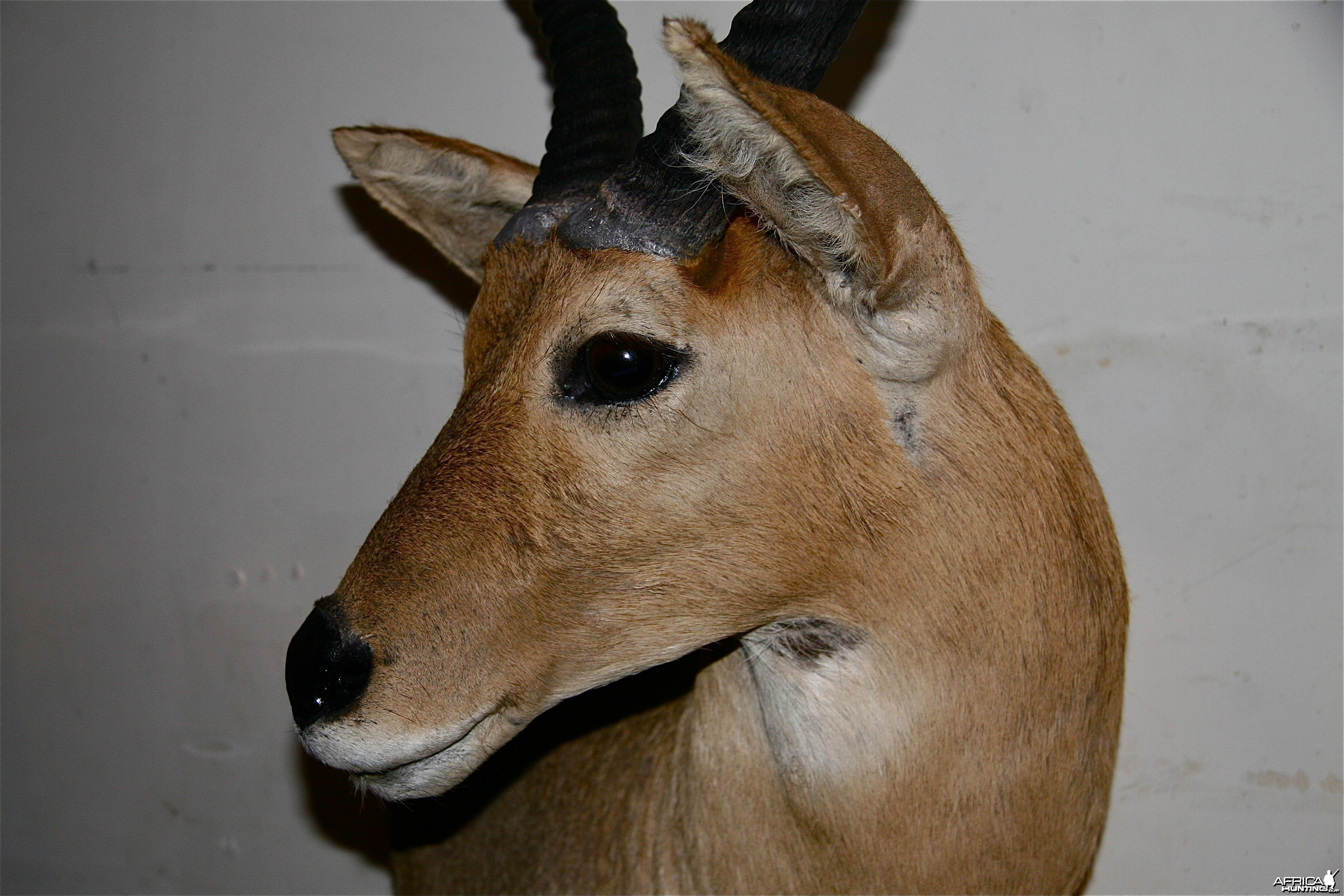 Reedbuck_sideview