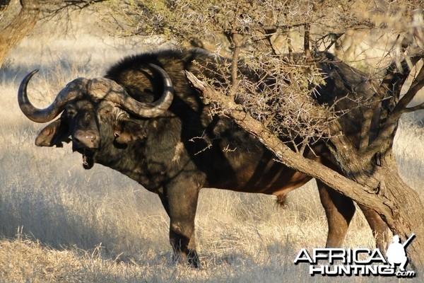 Buffalo - Wintershoek Johnny Vivier Safaris in South Africa