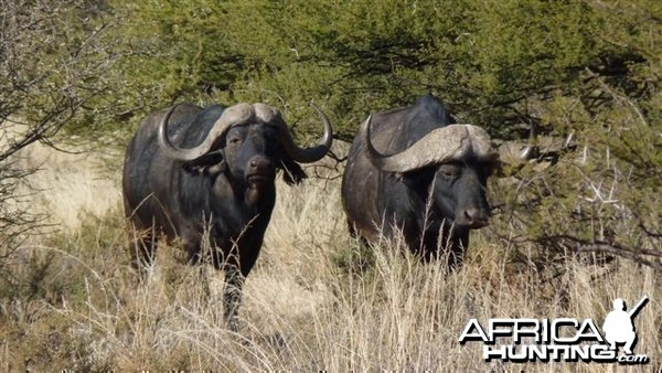 Buffalo - Wintershoek Johnny Vivier Safaris in South Africa