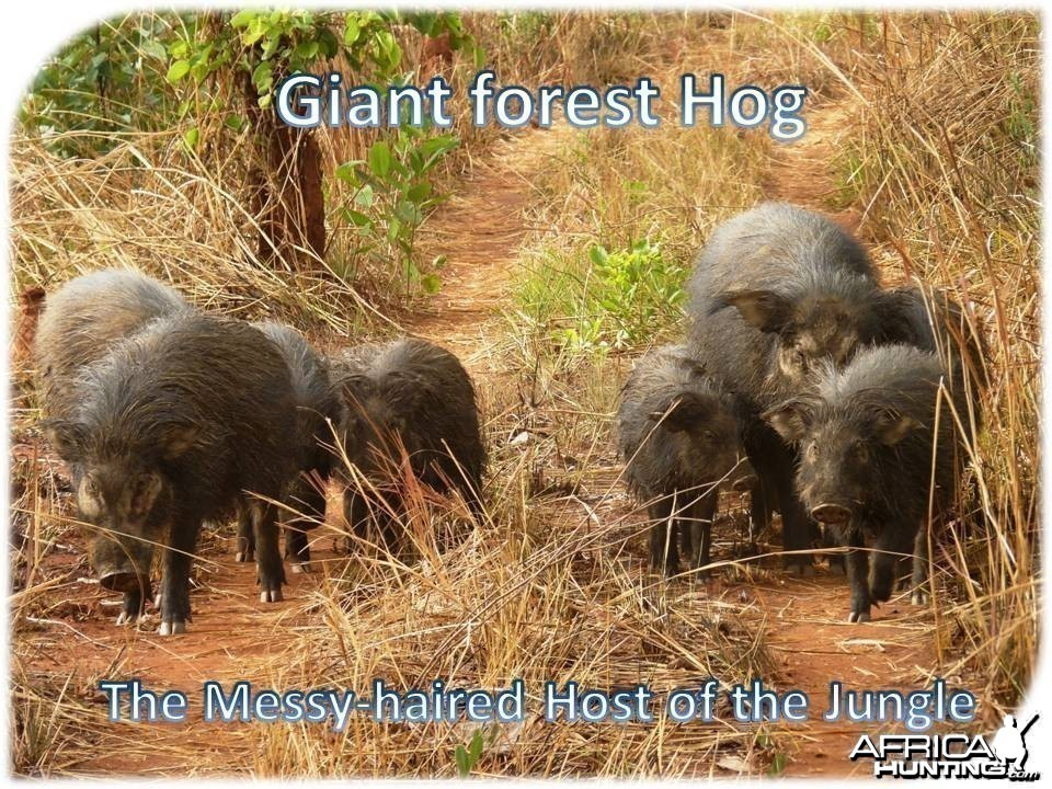 Giant Forest Hog in CAR