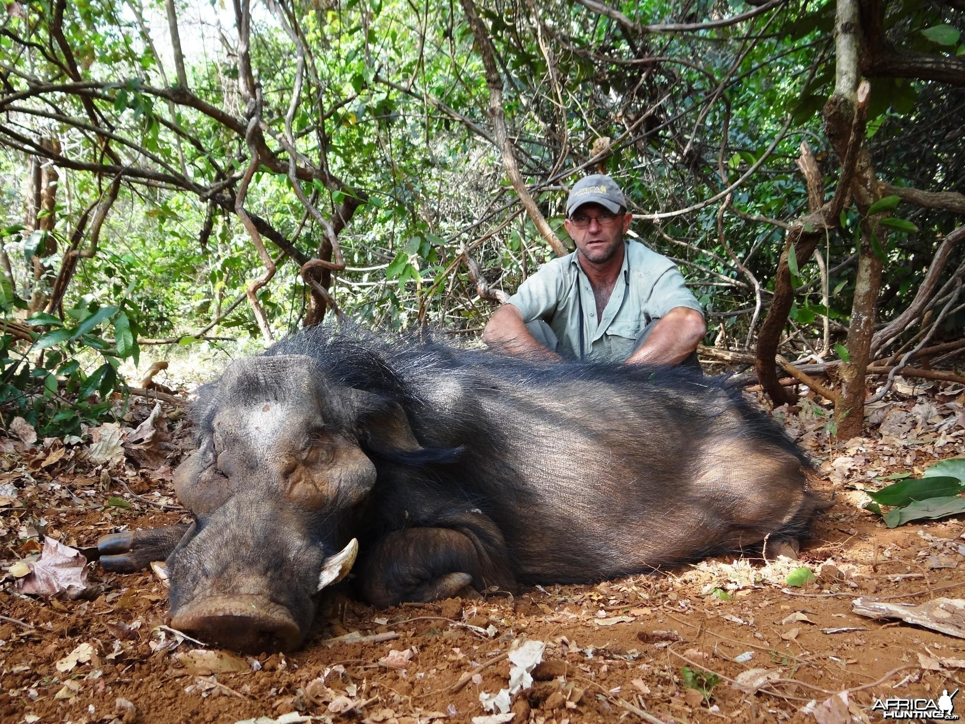 Giant Forest Hog hunted in CAR