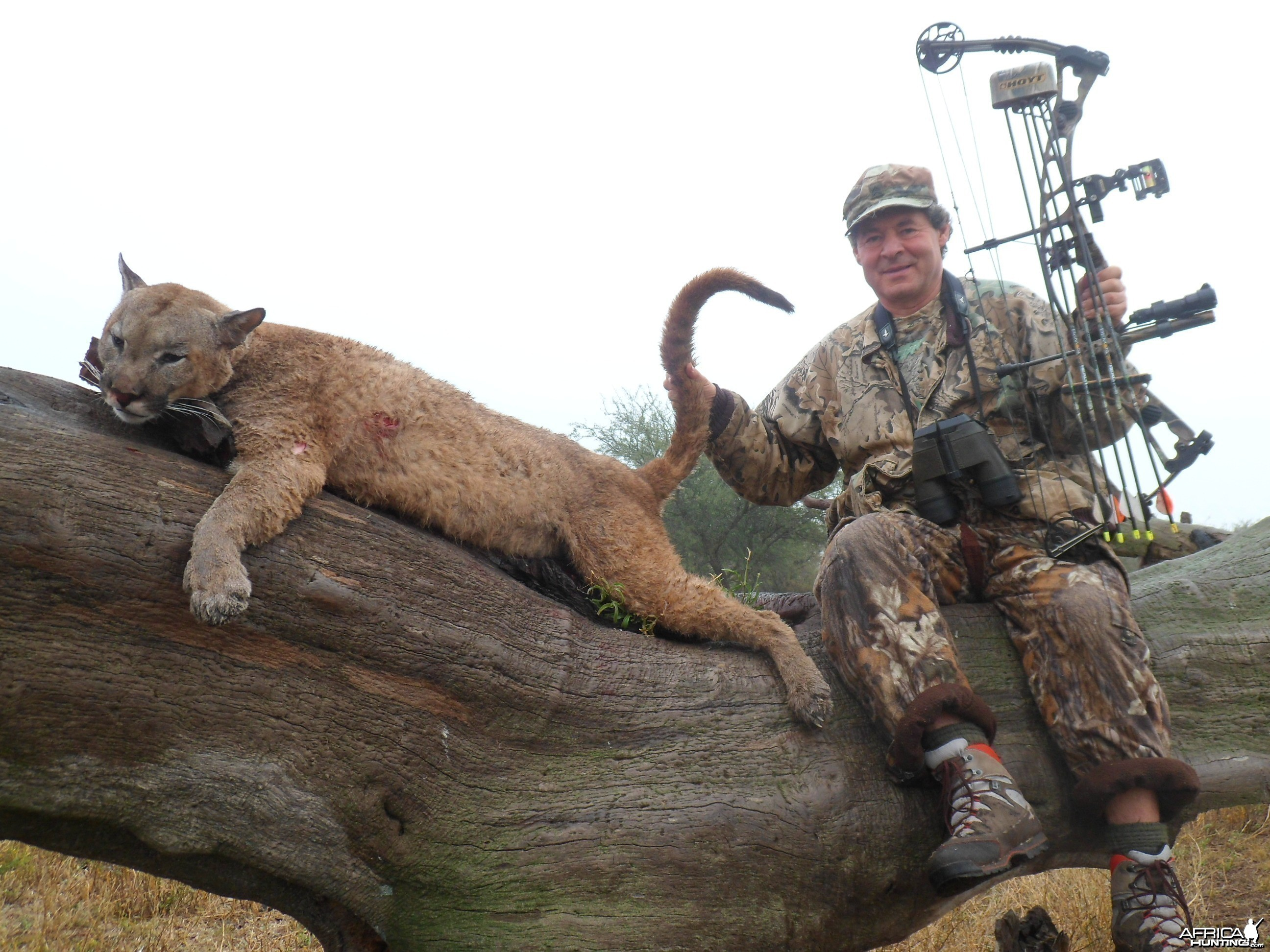 Argentina Puma hunted with Bow