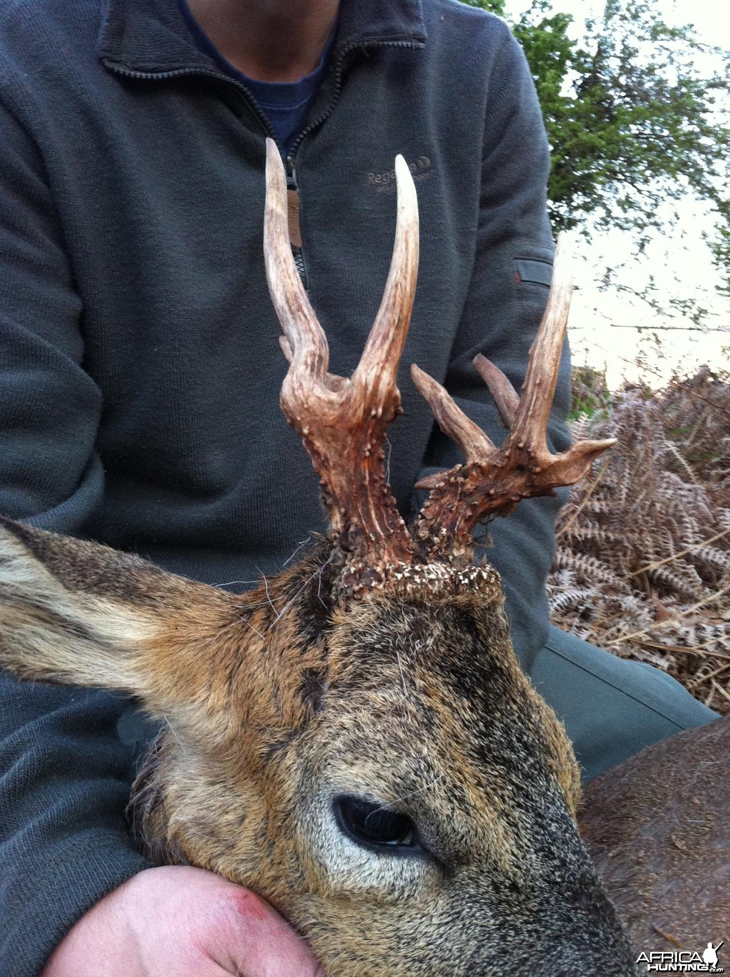Unusual Roe Buck