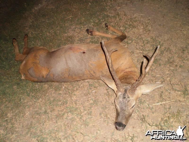 Siberian roe deer Kygizstan