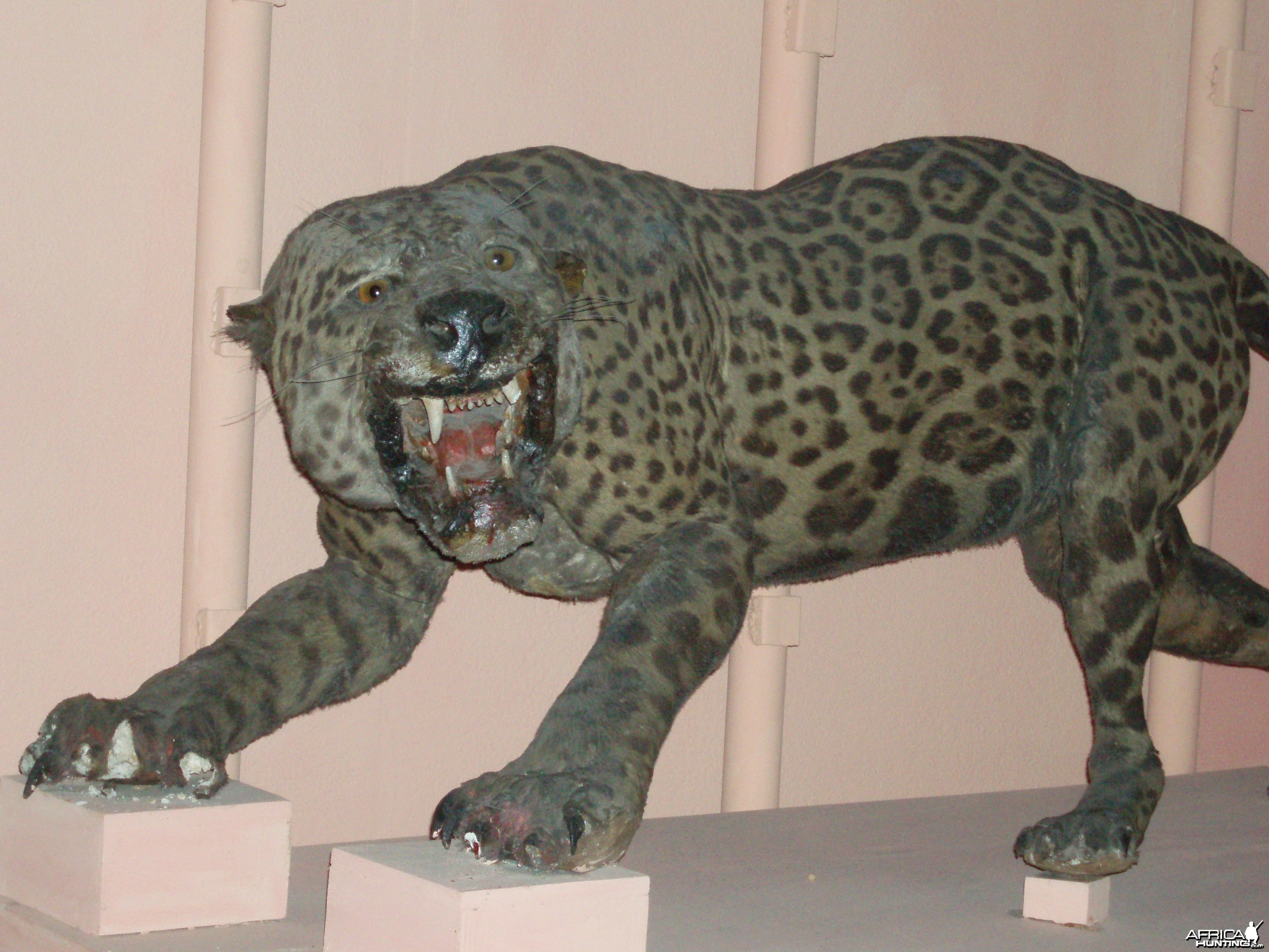 Cuban Leopard Mount
