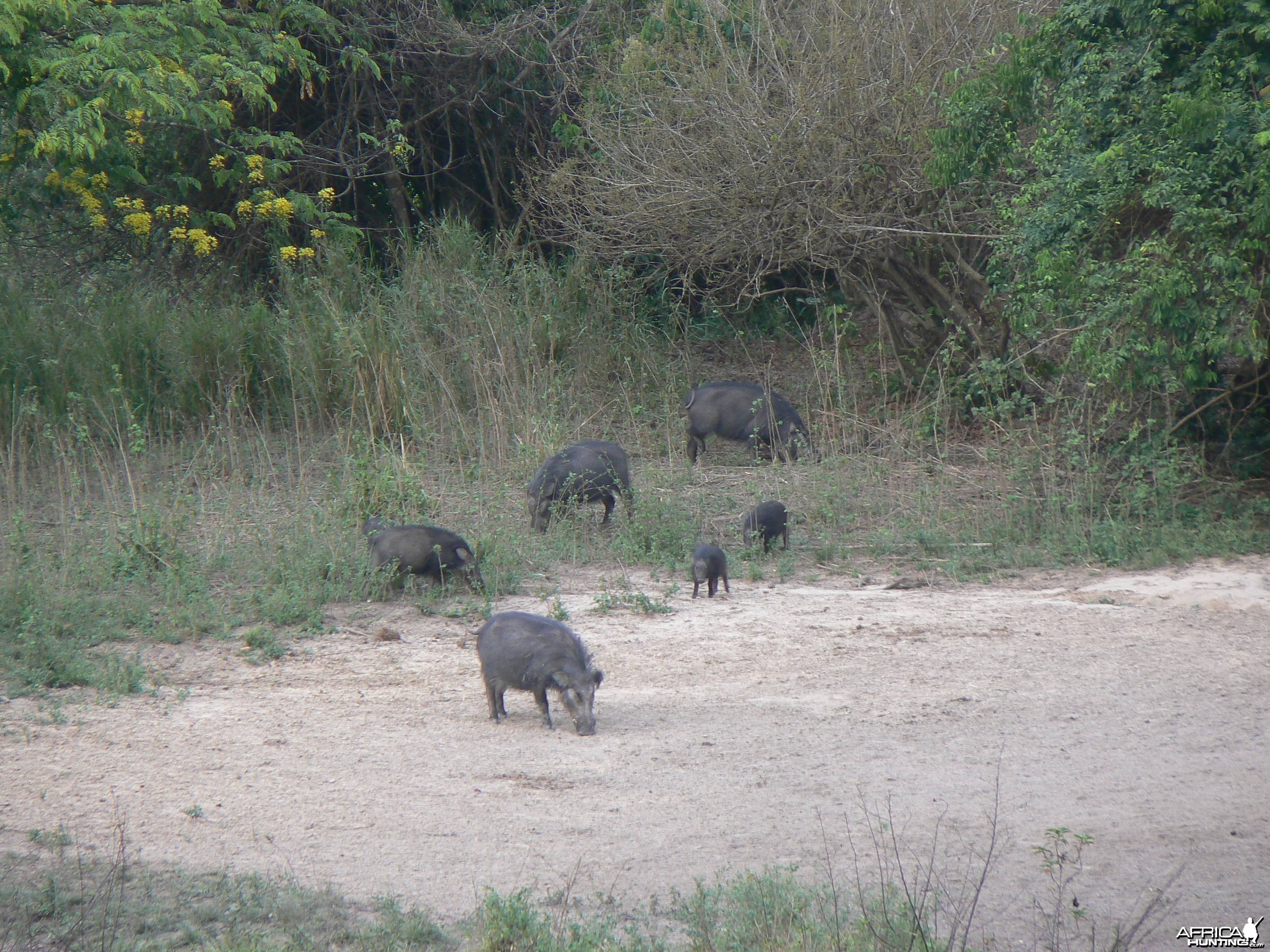Giant Forest Hog family