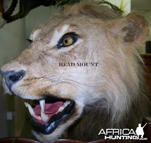 Lion head mount Nyaka Taxidermy