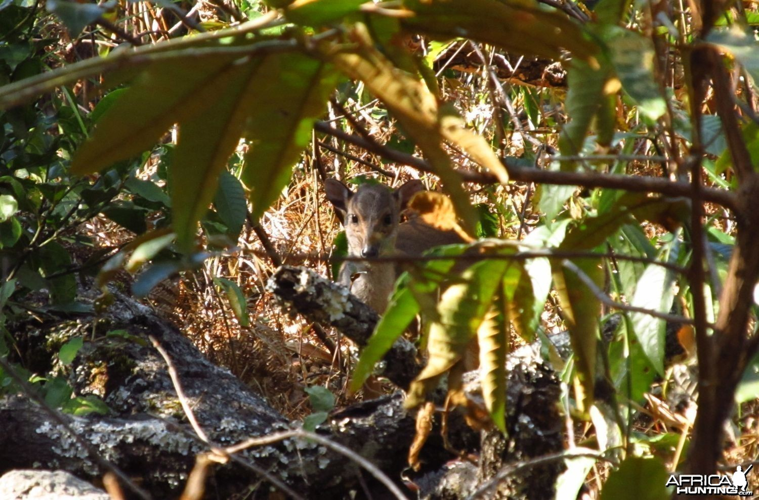Blue duiker in the miombo