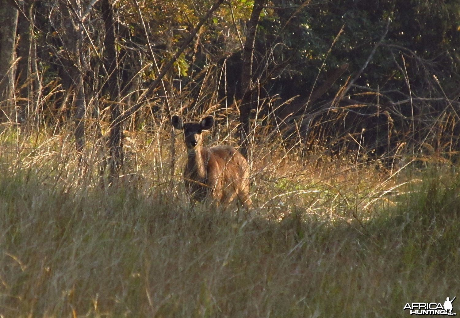Forest Sitatunga female
