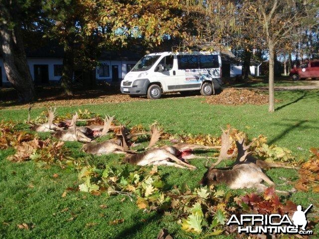 Fallow deer hunt in Europe Hungary