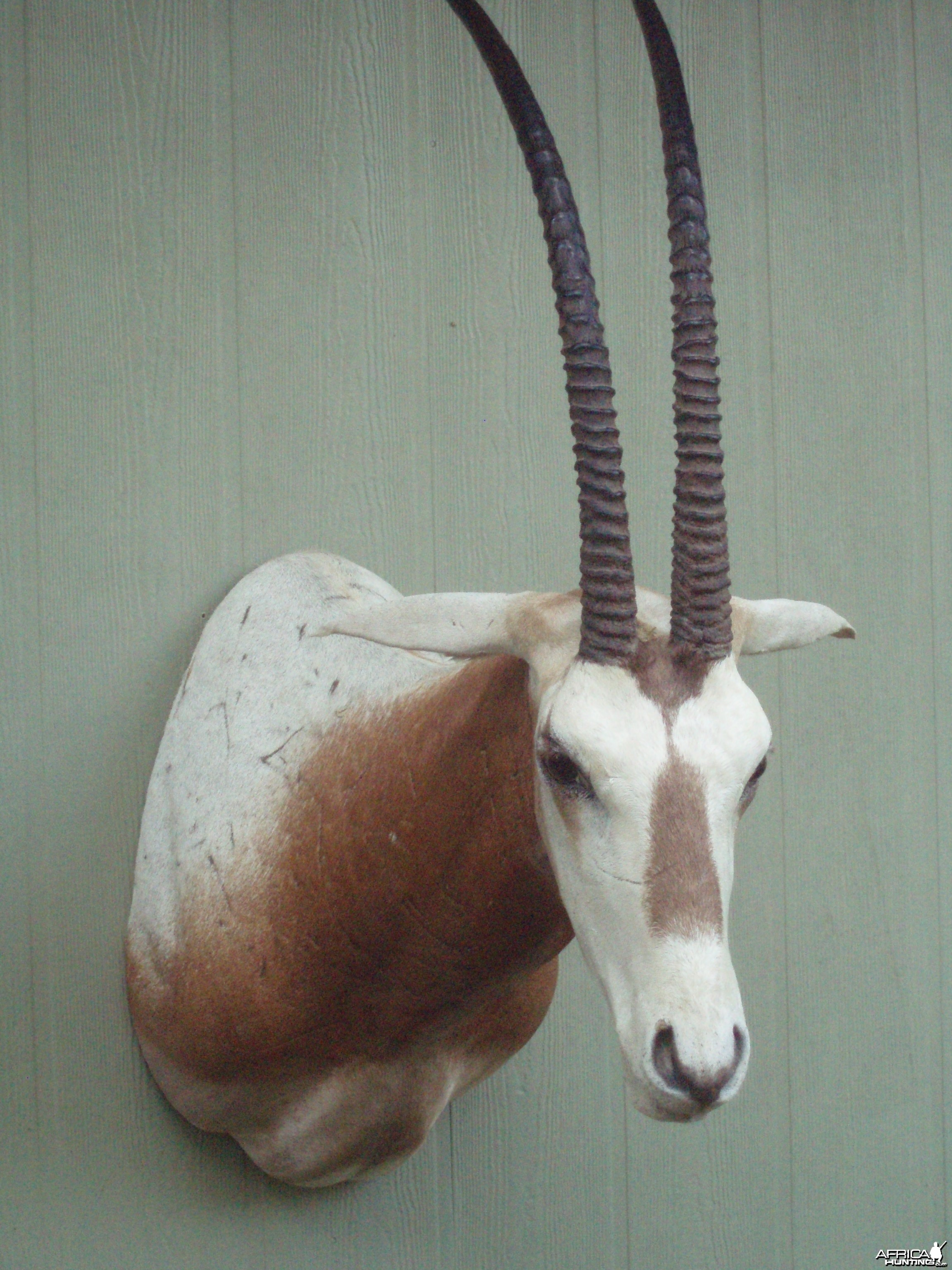 SCIMITAR ORYX MOUNT