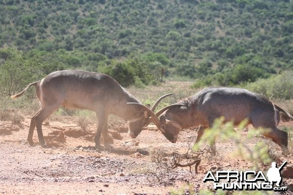 Waterbuck Bulls Fighting