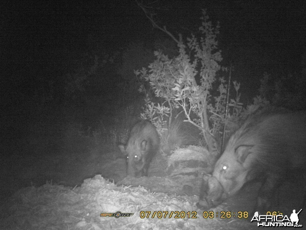 monster bushpig on trailcam