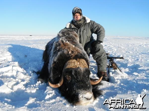 Alaska Muskox