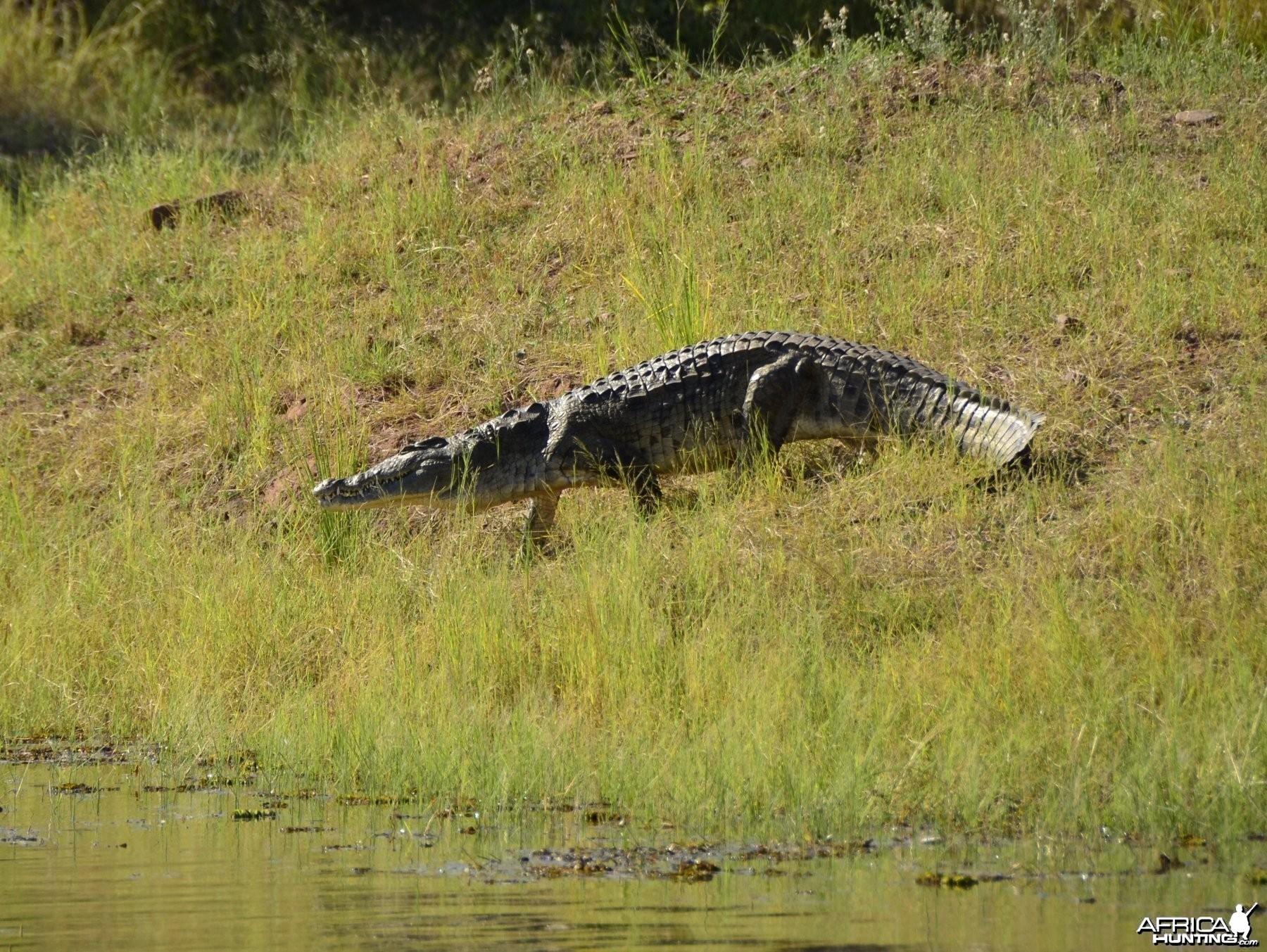 Croc, Lake Kariba