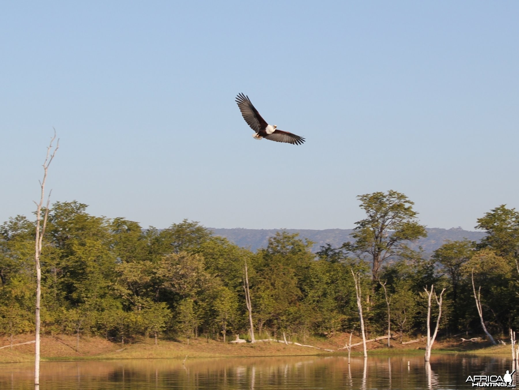 Fish Eagle, Lake Kariba