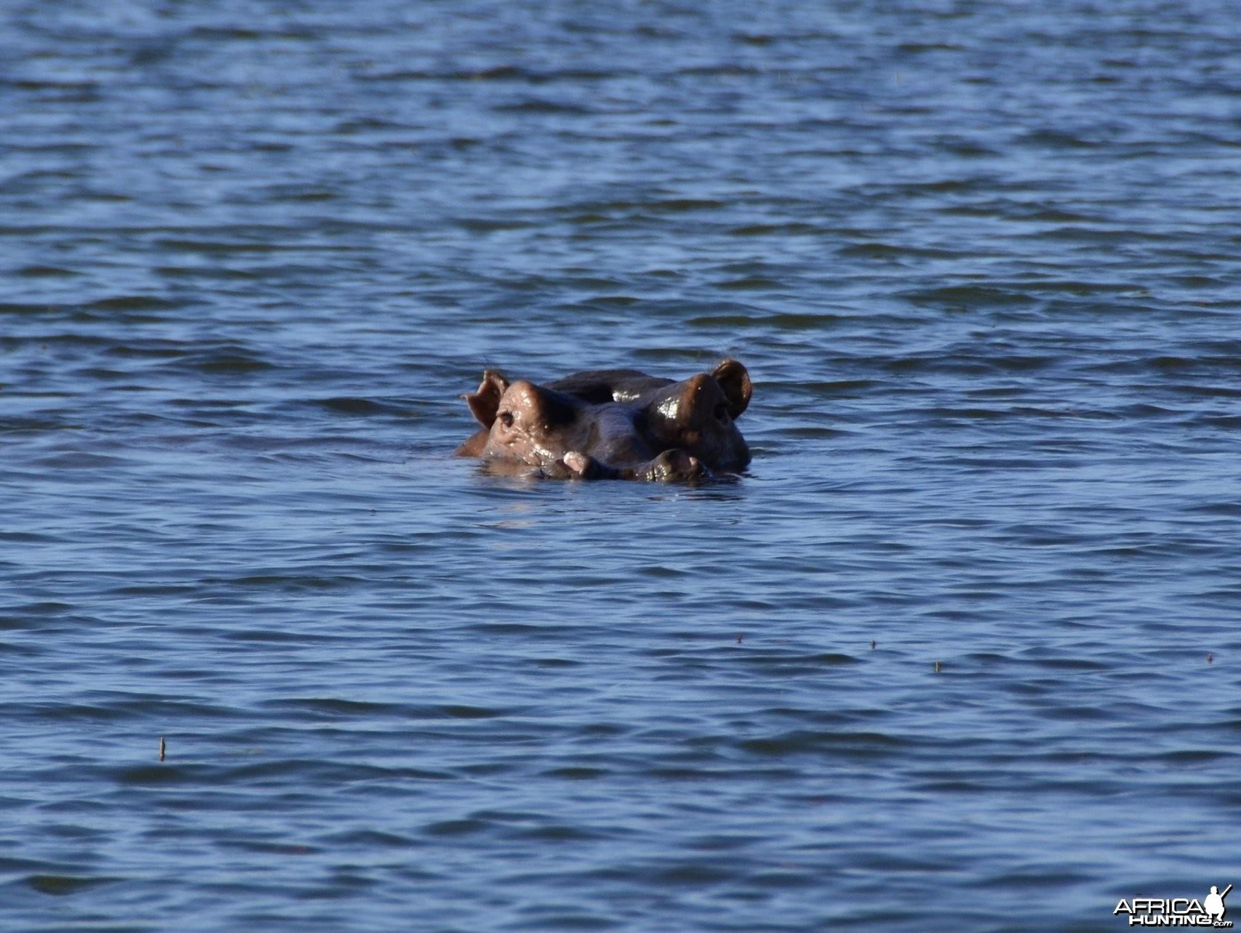 Hippo Bull, Lake Kariba