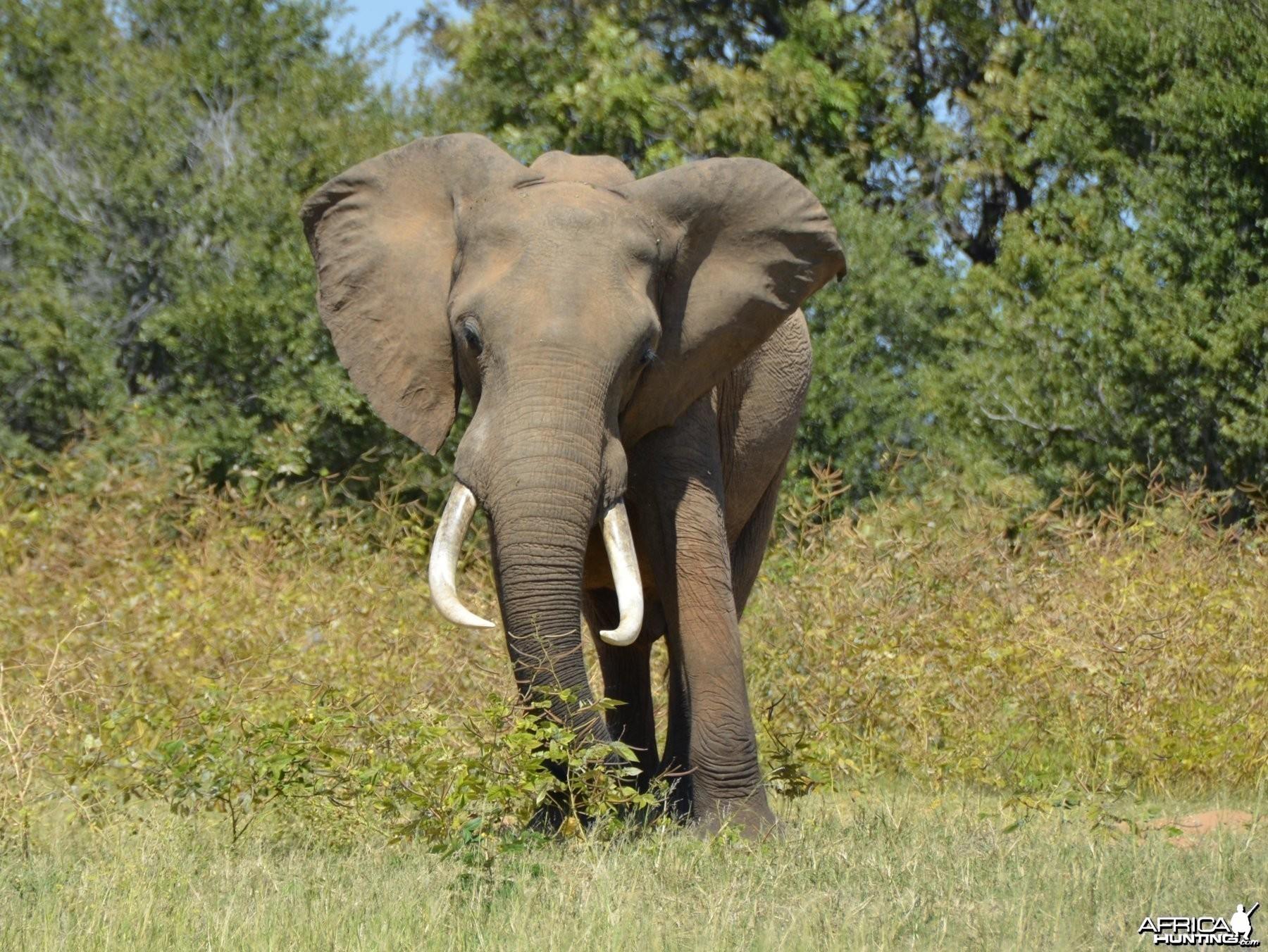 Ele Bull, Omay North, Zimbabwe