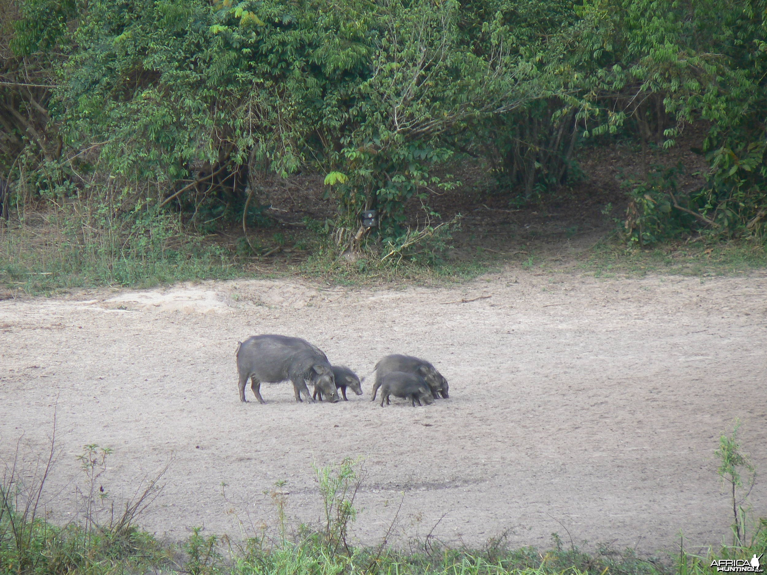Giant forest Hog family in CAR