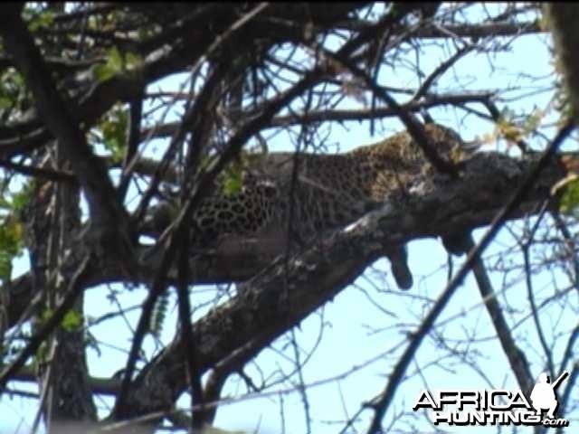 Arrow entering the leopard's liver